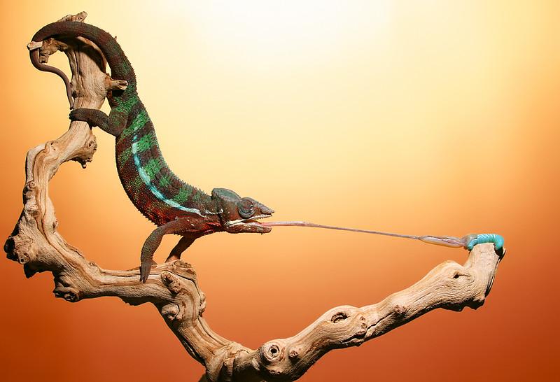 Chameleon Eating Hornworm o.jpg