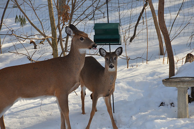 Deer in our backyard Feb 15