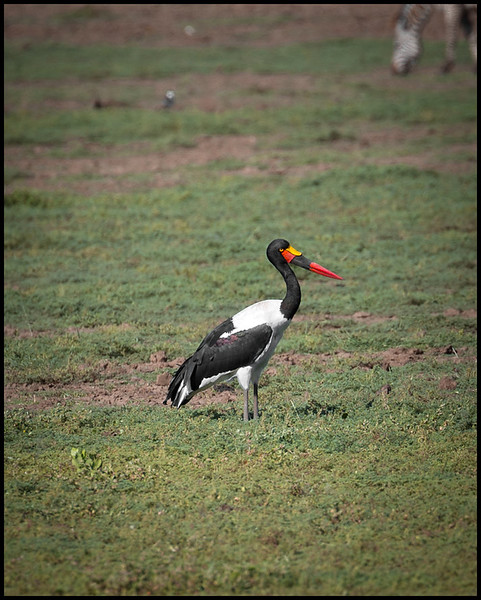 Saddle-billed stork, Lake Manyara NP
