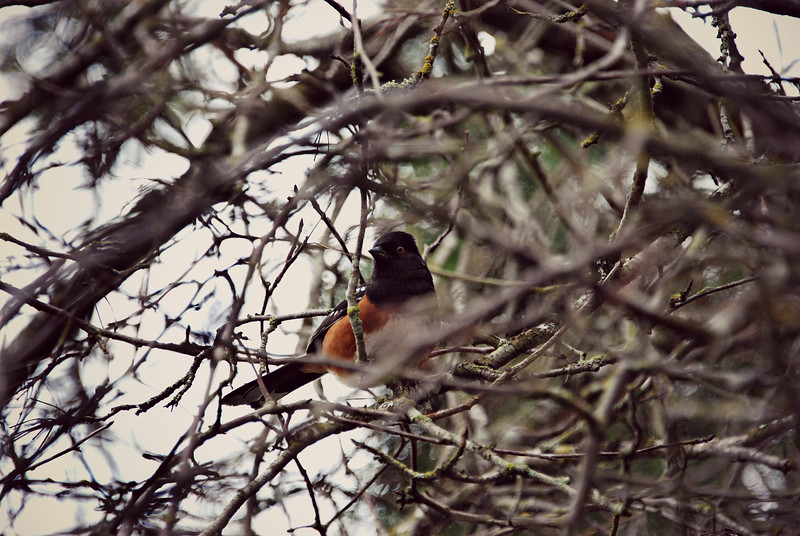 Spotted Towhee B.C Canada