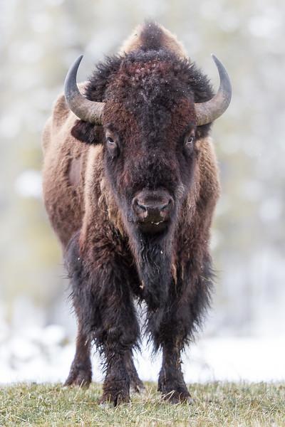 Bison eye level Yellowstone National Park WY IMG_0521.jpg