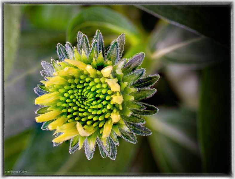 New Cone Flower