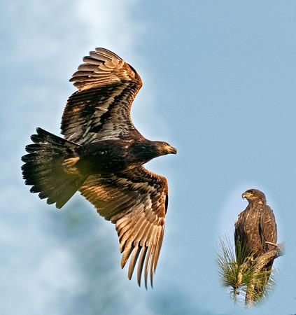 Palm Bay Eagle Nest - April 15, 2010