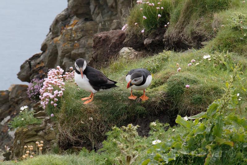 Puffins Shetland