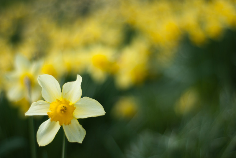 Daffodils in the Prince's Street Gardens