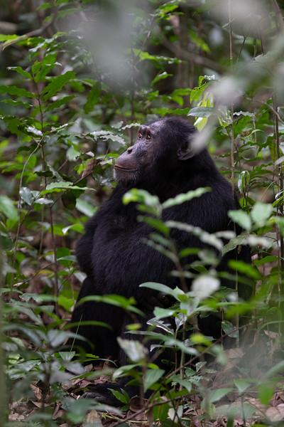 Uganda_T_Chimps-97.jpg