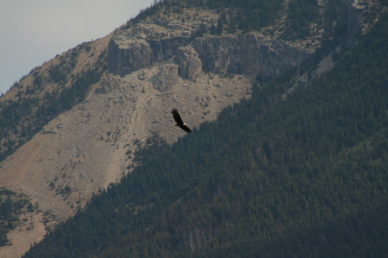 20110830 - 037 - WLNP - Eagle From Waterton Boat Cruise To Goat Haunt MT USA.JPG