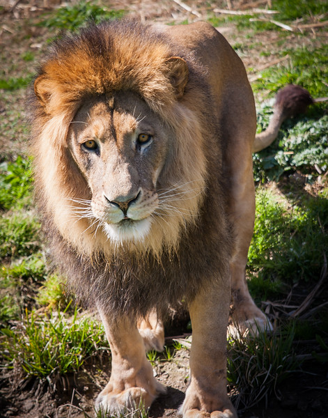 Lions Canberra Zoo - 2009-2013