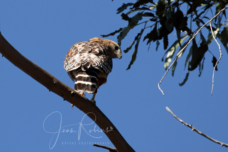 Today, Sunday April 22, she dive-bombed the nest and then left. The owls went flat.