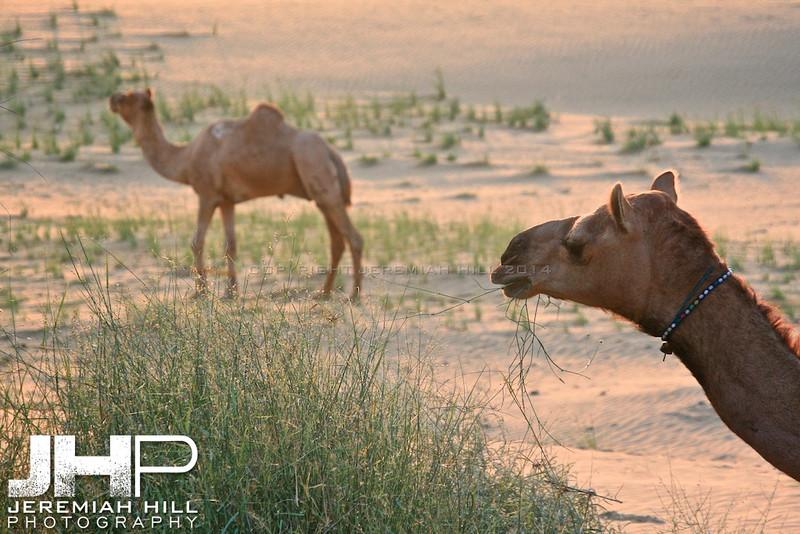 """""""Camel Grazing"""",  Thar Desert, Rajashtan, India, 2007 Print IND3926-268"""