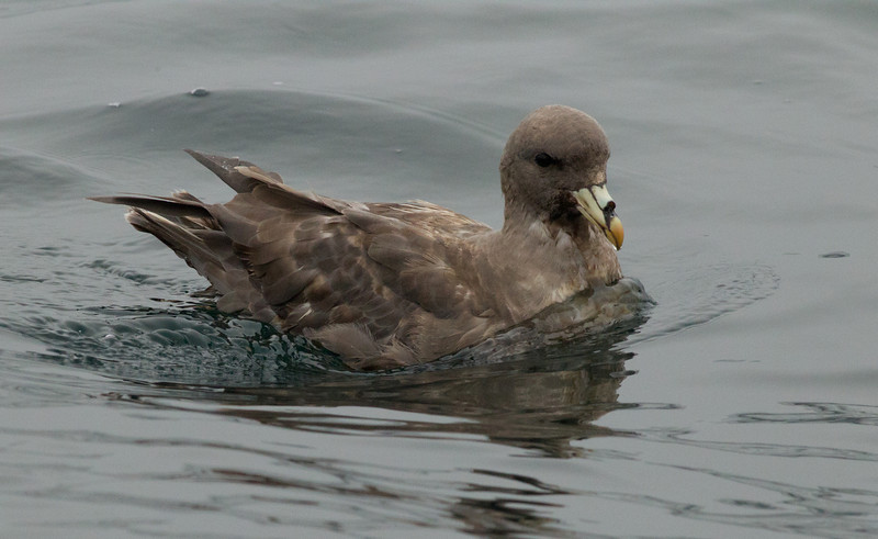 Northern Fulmar  Monterey 2011 09 22-1.CR2