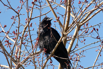 Raven in Springtime April 2015, Cynthia Meyer, Tenakee Springs, Alaska P1470925