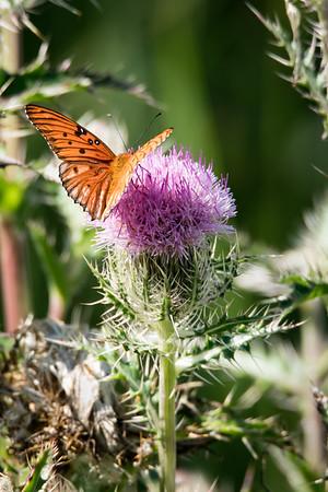 03_Everglades - Butterflies