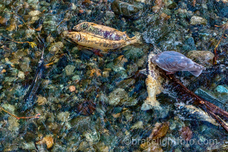 Goldstream Provincial Park Salmon Run
