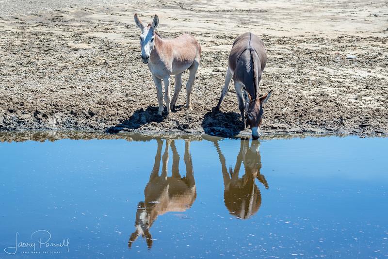 Wild Donkeys - drinking