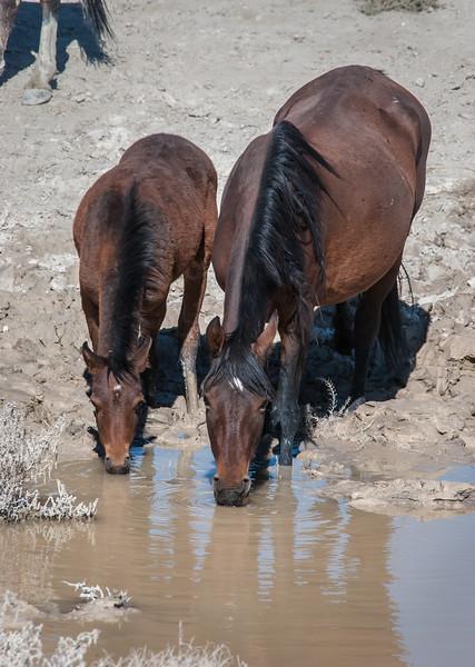 Wild Horses Drinking Nr Rt 6 #3