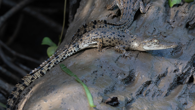 Estuarine (Saltwater) Crocodile (immature)