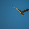 Seagull-005