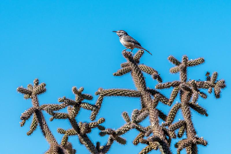 Cactus Wren On Cholla #2