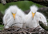 We Are Not Waiting Much Longer If You Get Our Drift: Great Egret Chicks at the Alligator Farm #1 04/14