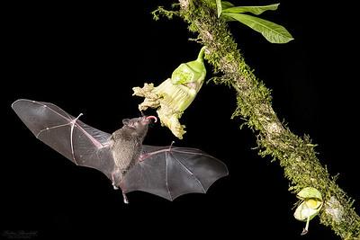 Bats / Fladdermöss