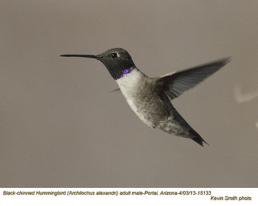 BlackChinnedHummingbirdM15133.jpg