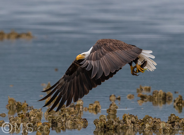 Bald Eagle Image Gallery