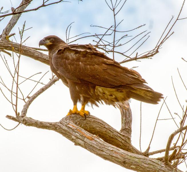 2017 Bald Eagle Chick-101.jpg