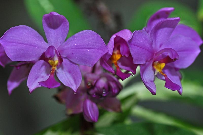purpleorchids.jpg