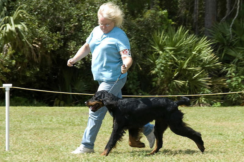 This Gordon Setter, owned and shown by Susan Gordon, competed in the conformation match.