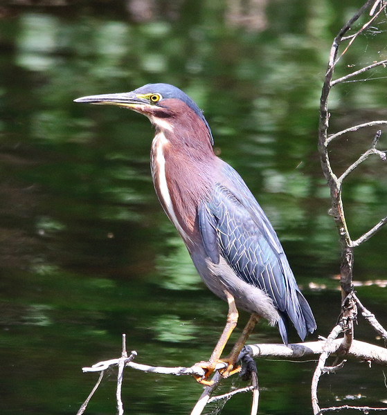 green heron york 23.jpg