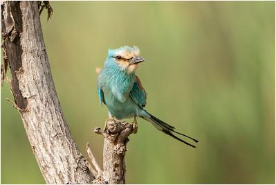 Kingfishers, Bee Eaters, Rollers and Jacamars