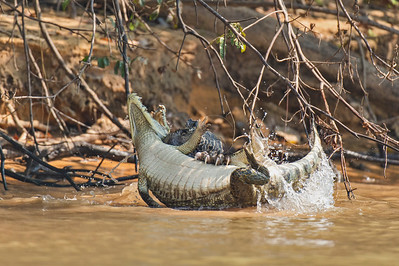 Jaguar attacking a Yacare caiman