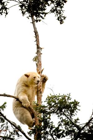 Brown Bear (Spirit Bear)