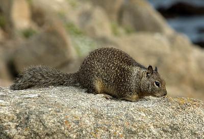 Squirrel - Ground Squirrel
