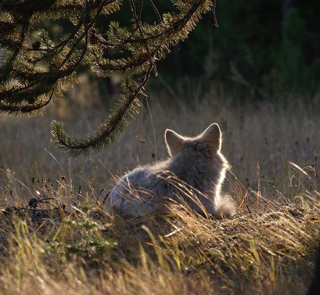 Coyote rest Yellowstone _MG_3812.jpg