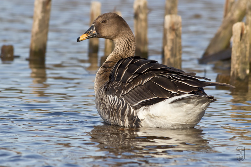 Taiga Bean Goose (Sædgås / Anser fabalis) from Østensjøvannet, Oslo (Norway). This is a rare visitor in southern Norway and normally quite shy. Lucky for me this one wasn't :-)