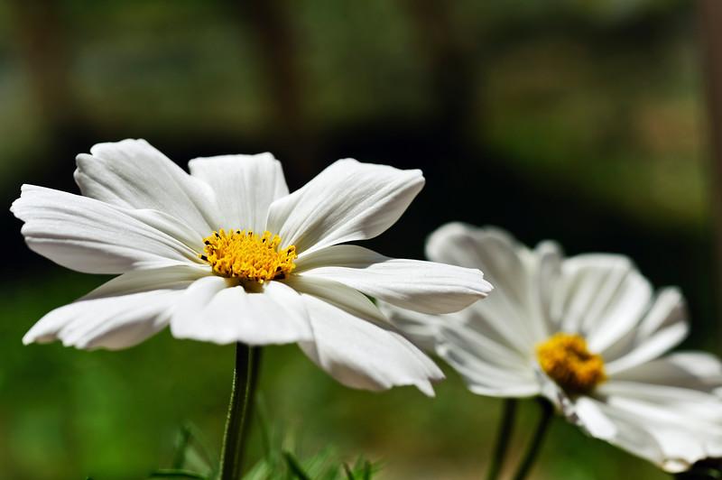 Cosmos flowers2.jpg