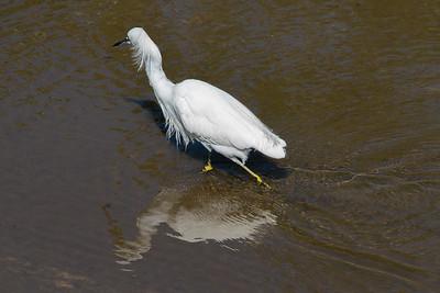 03_Everglades - Snowy Egret