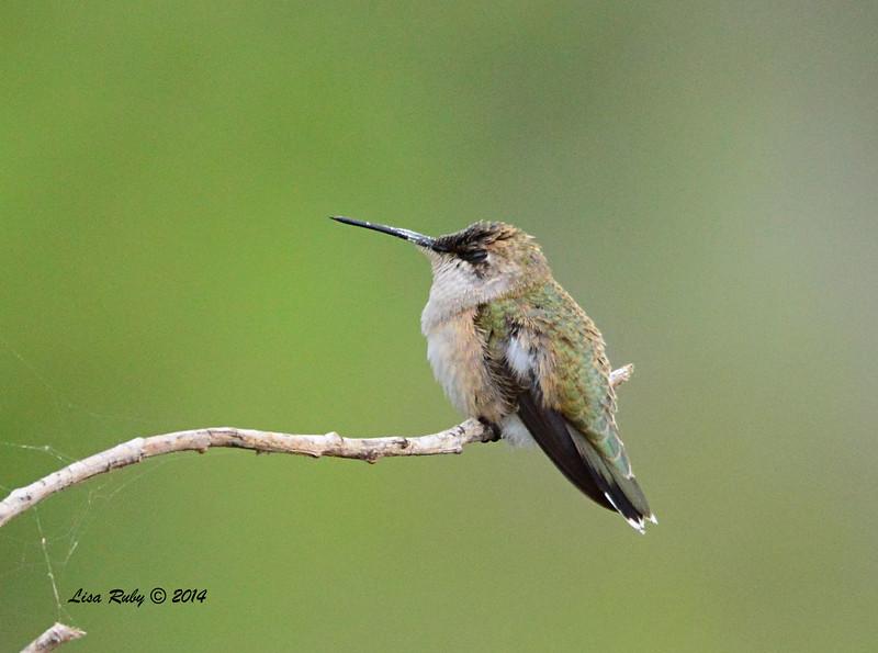 Female Immature Selasphorus Hummingbird - 09/28/2014 - Dairy Mart Ponds