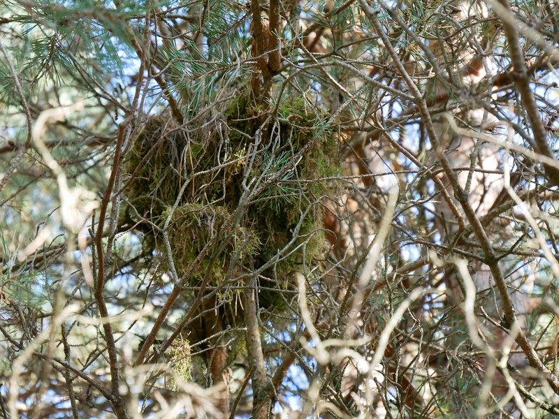 Red Squirrel - nest