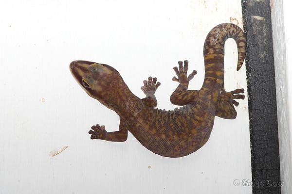 Southern Spotted Velvet Gecko