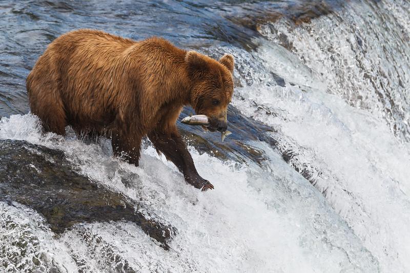 Grizzly bear fishing salmon, Brooks Falls. Katmai National Park, Alaska, USA.