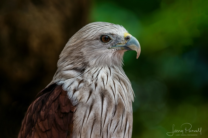 Red Tail Hawk - Thailand (side view)