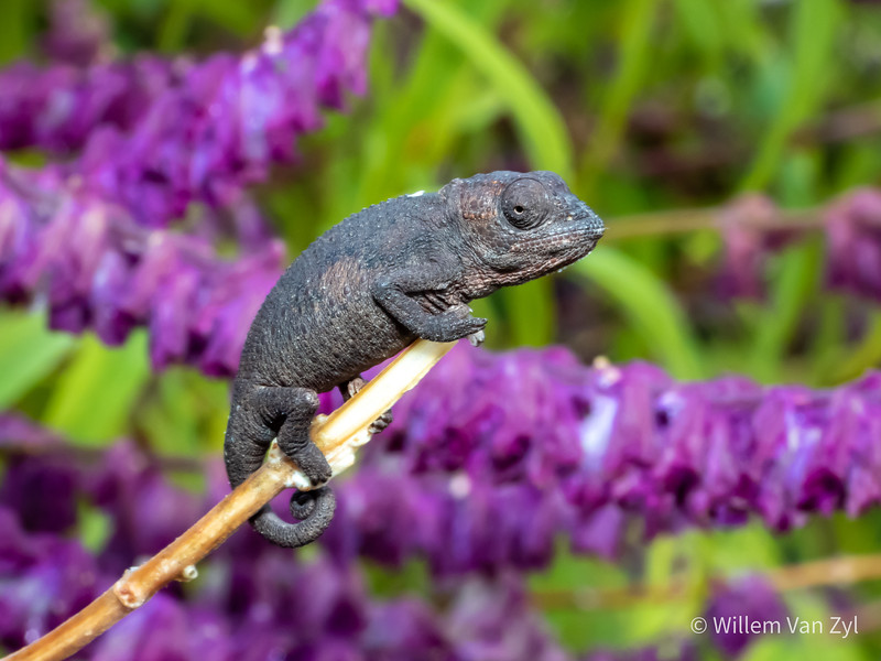 20200523 Robertson Dwarf Chameleon (Bradypodion gutterale) from Ceres, Western Cape