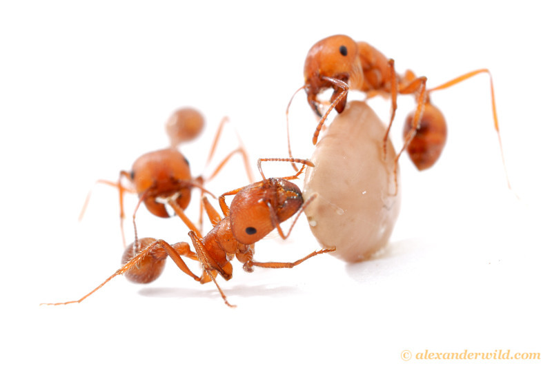 Pogonomyrmex maricopa harvester ants inspect a mesquite seed.  Tucson, Arizona, USA
