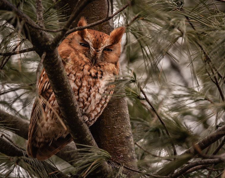Eastern Screech Owl - Rufus Morph
