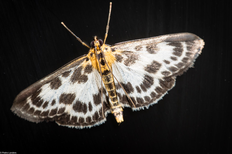 Small Magpie Moth