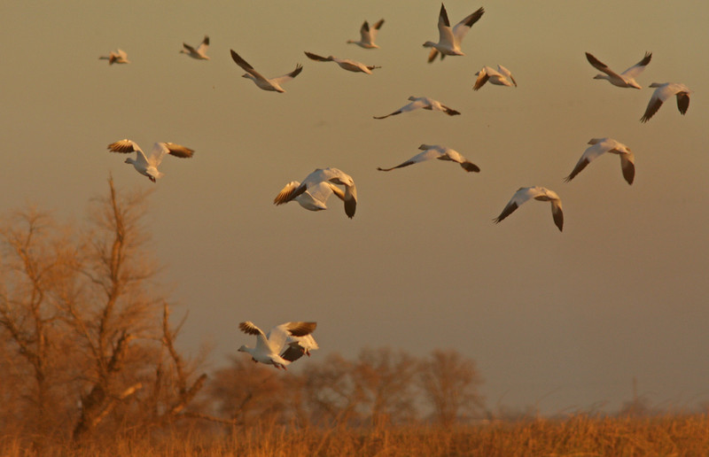WB~Snow Geese Orange Sunset Colusa1280.jpg