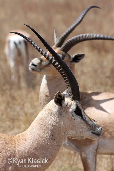 A pair of Grant's gazelles showing off their impressive horns